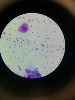 Ear Cytology- bacteria